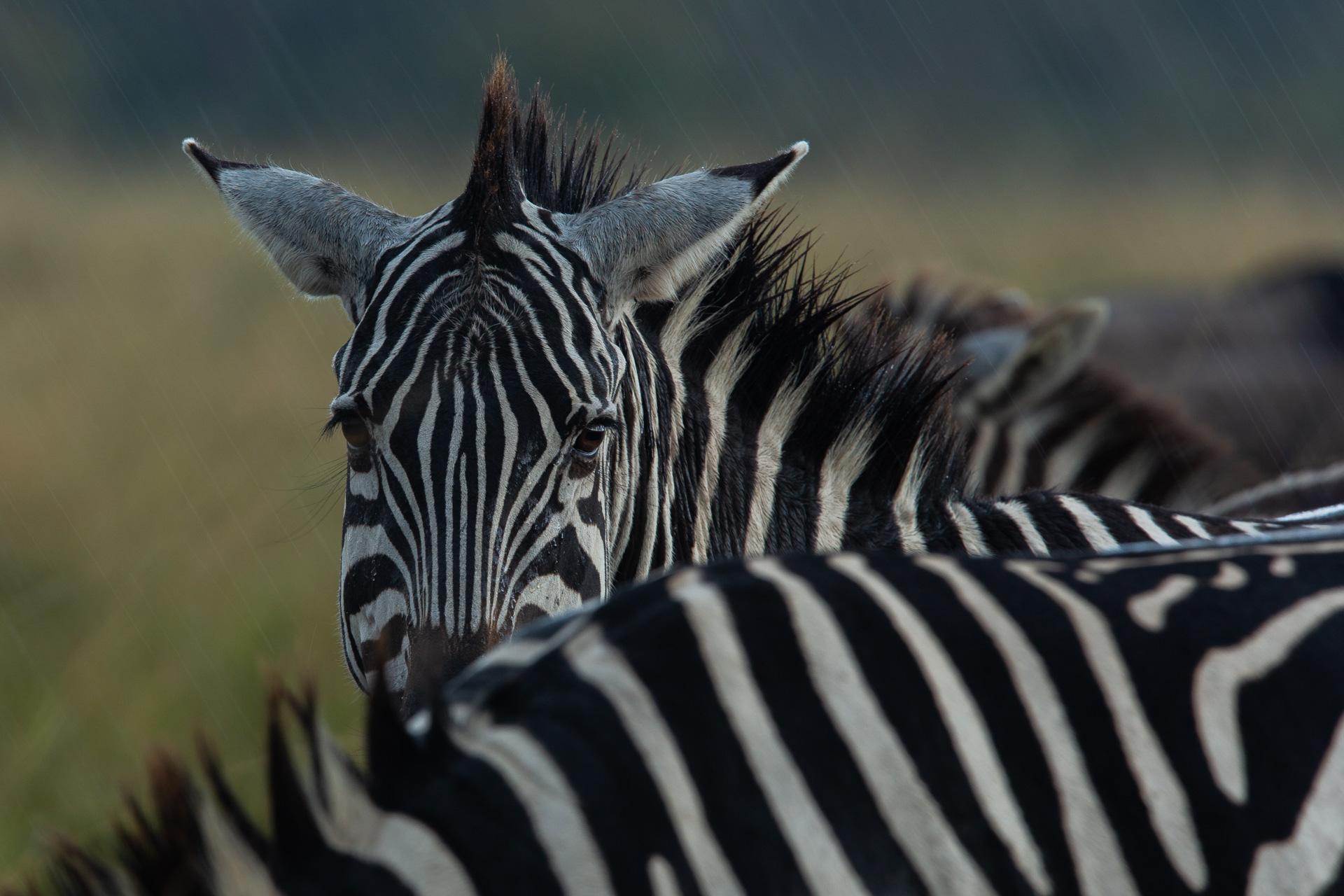 zebras in the rain