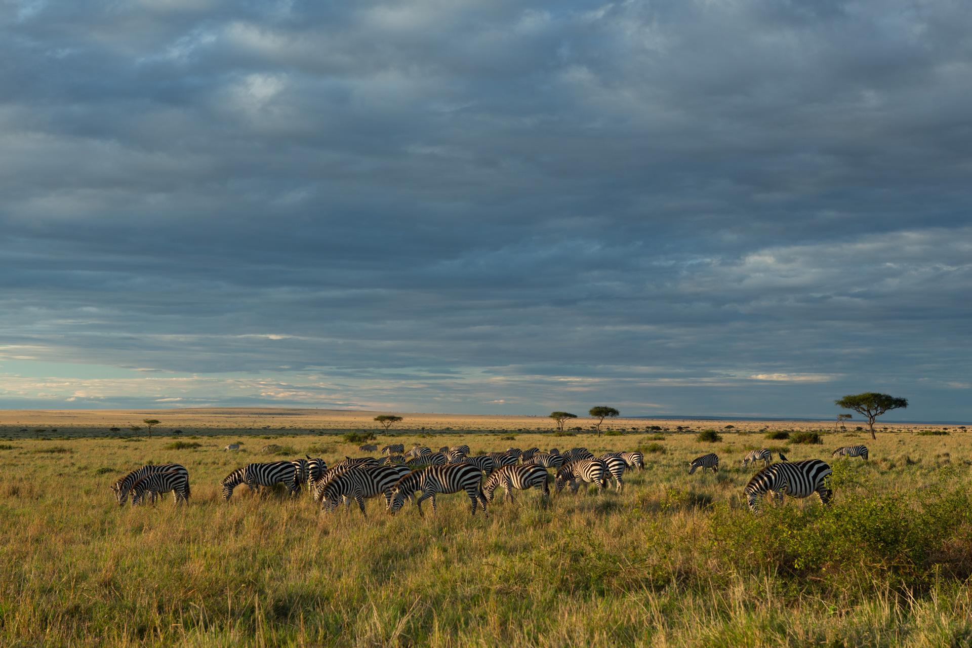 zebra and landscape