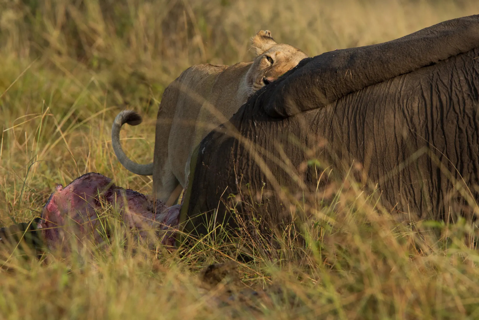LIoness and elephant
