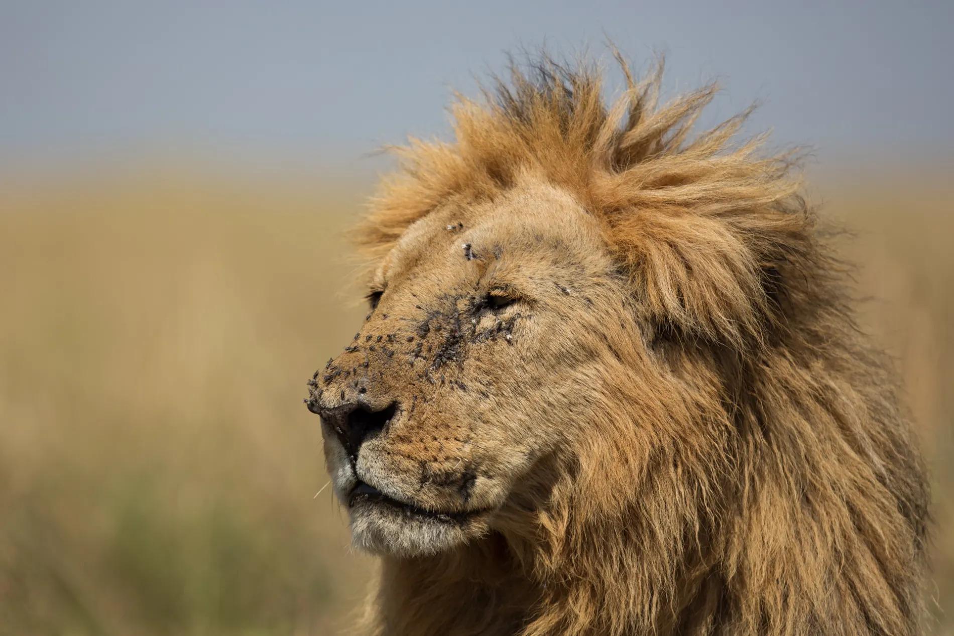 fang lion