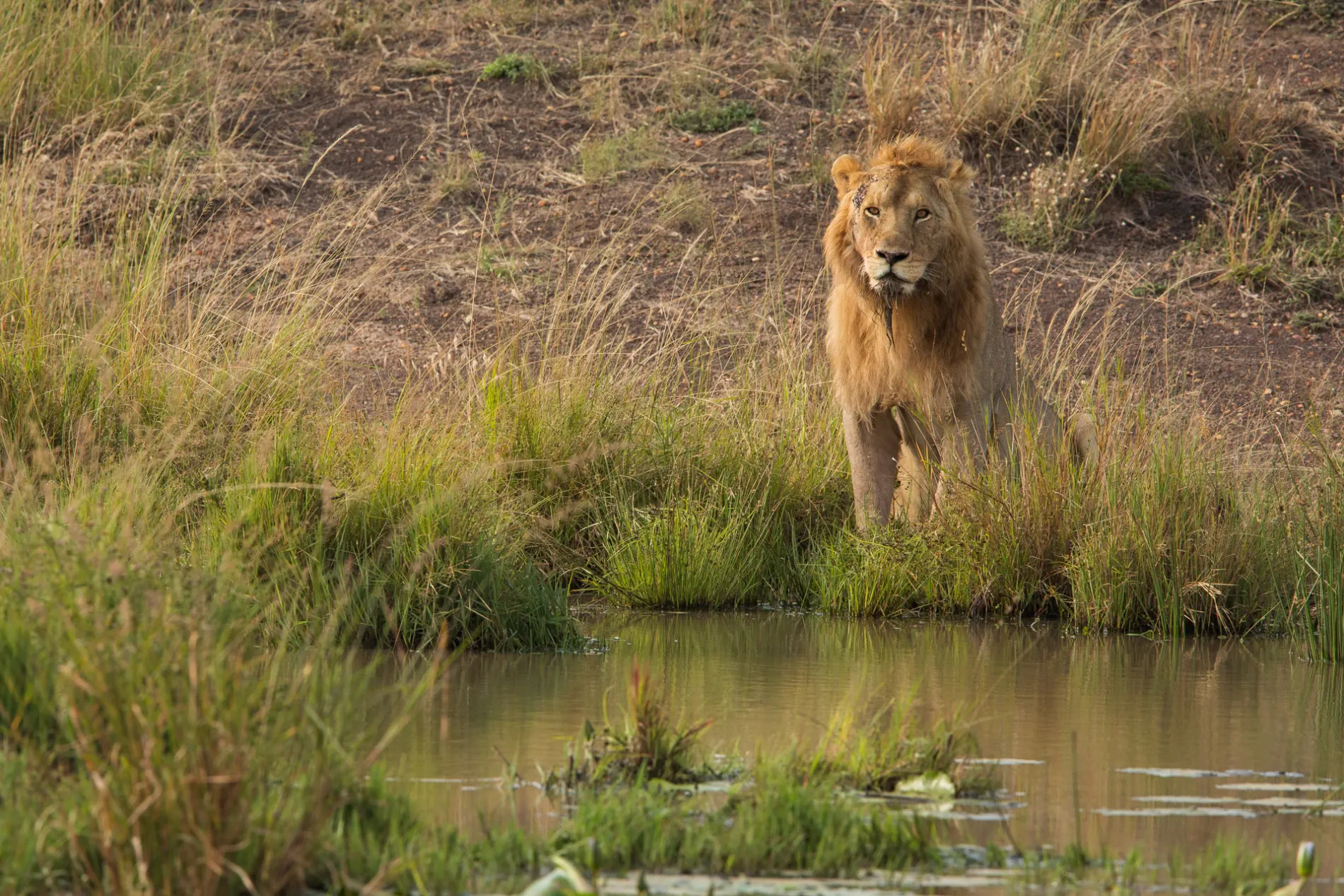 male lion at water