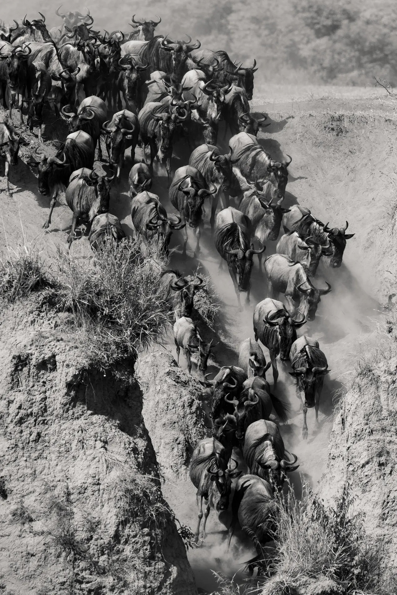 The migration rush - black and white