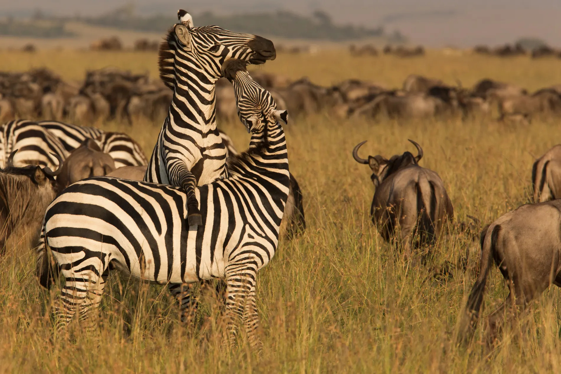 Zebra climbing