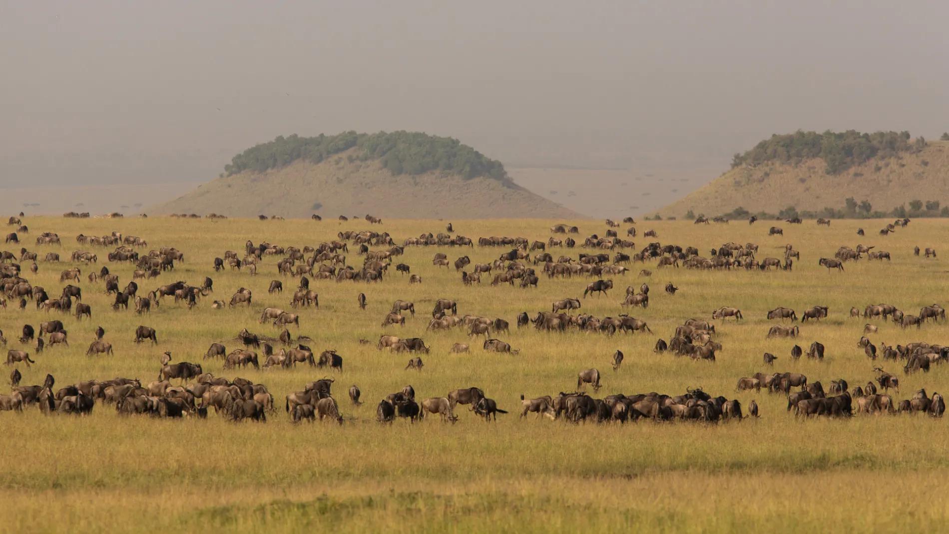 Wildebeest landscape