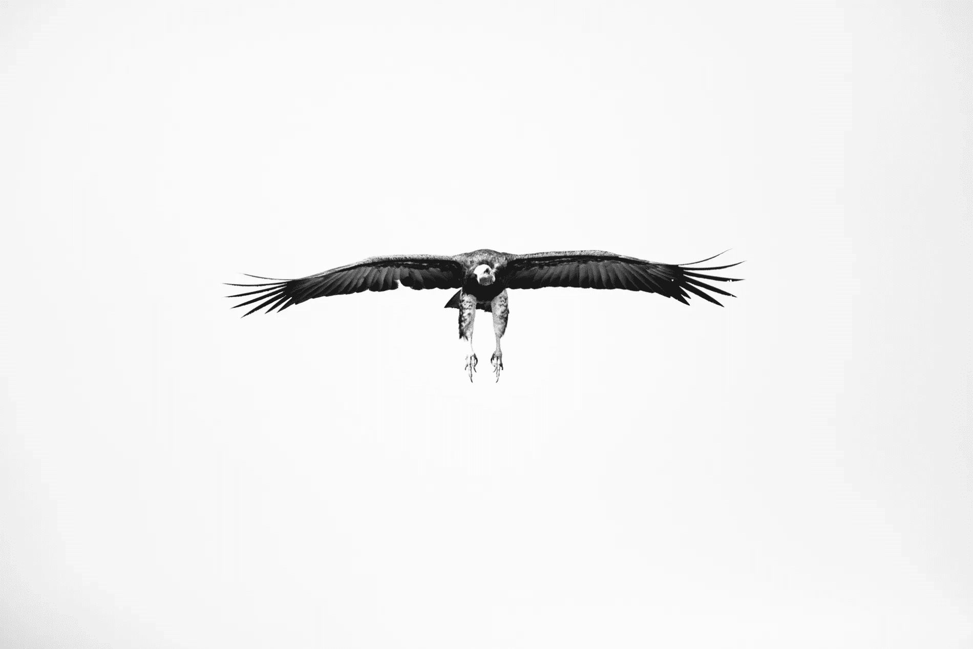 hooded vulture in bw