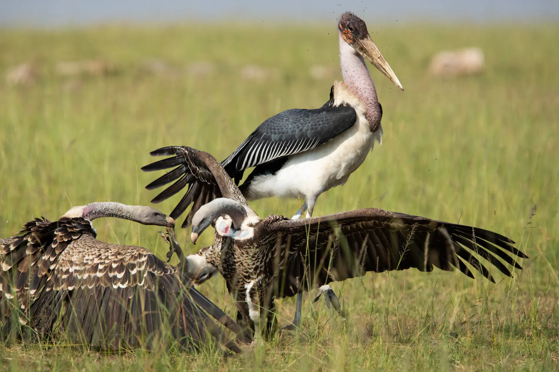 Vulture fight