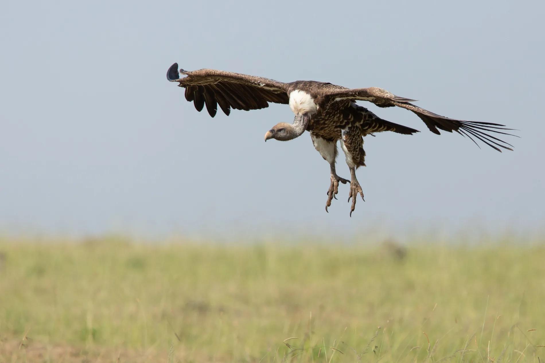 Vulture feet landing