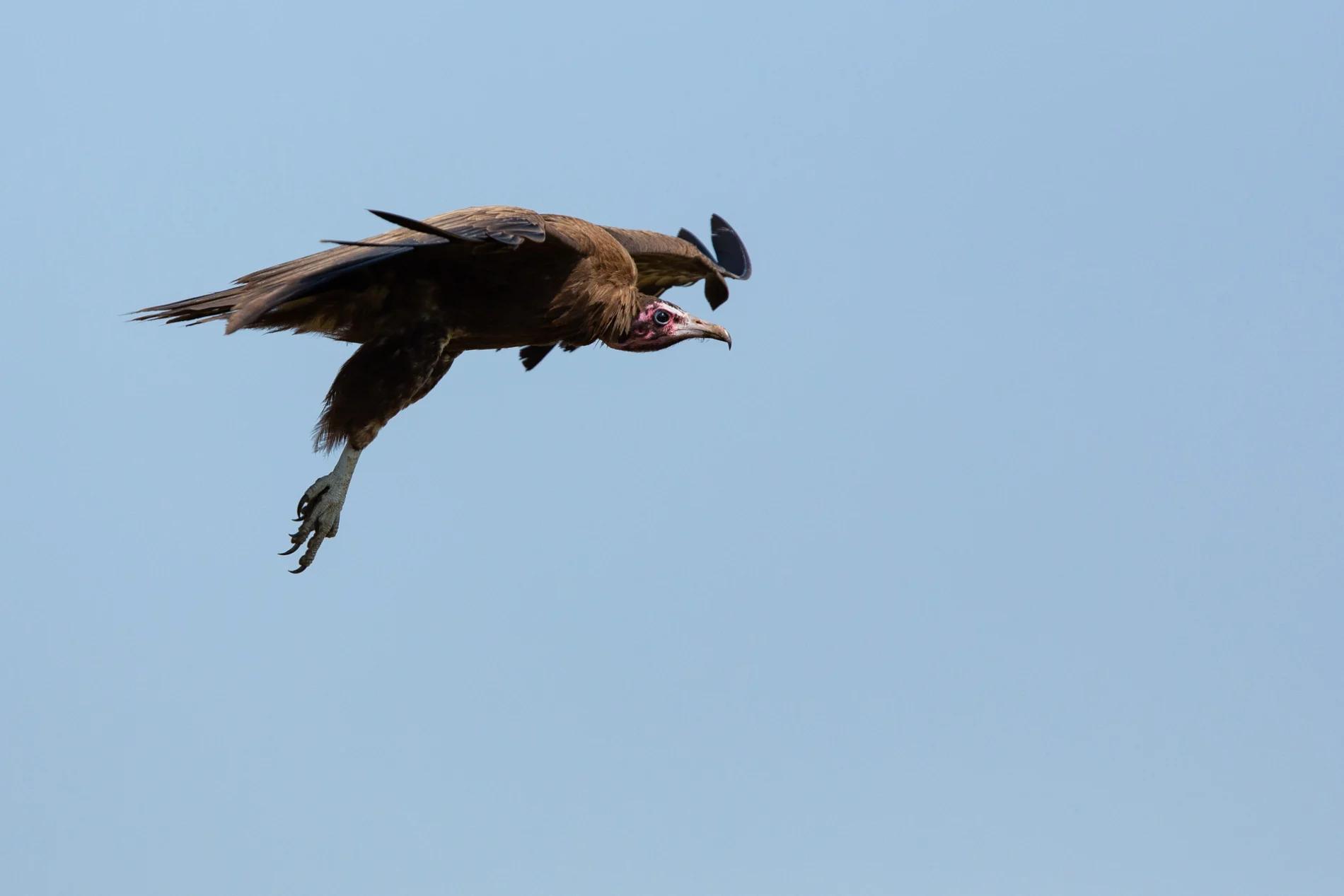 Vulture in flight 2