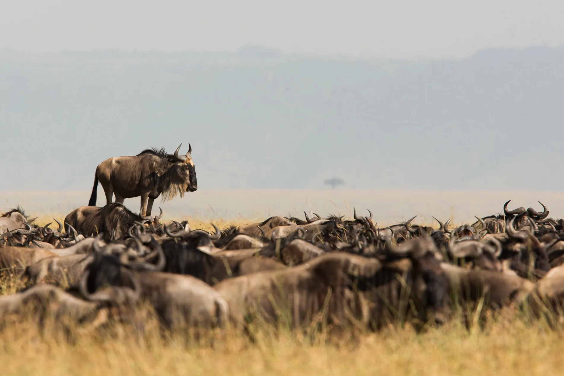 Wildebeest raised up