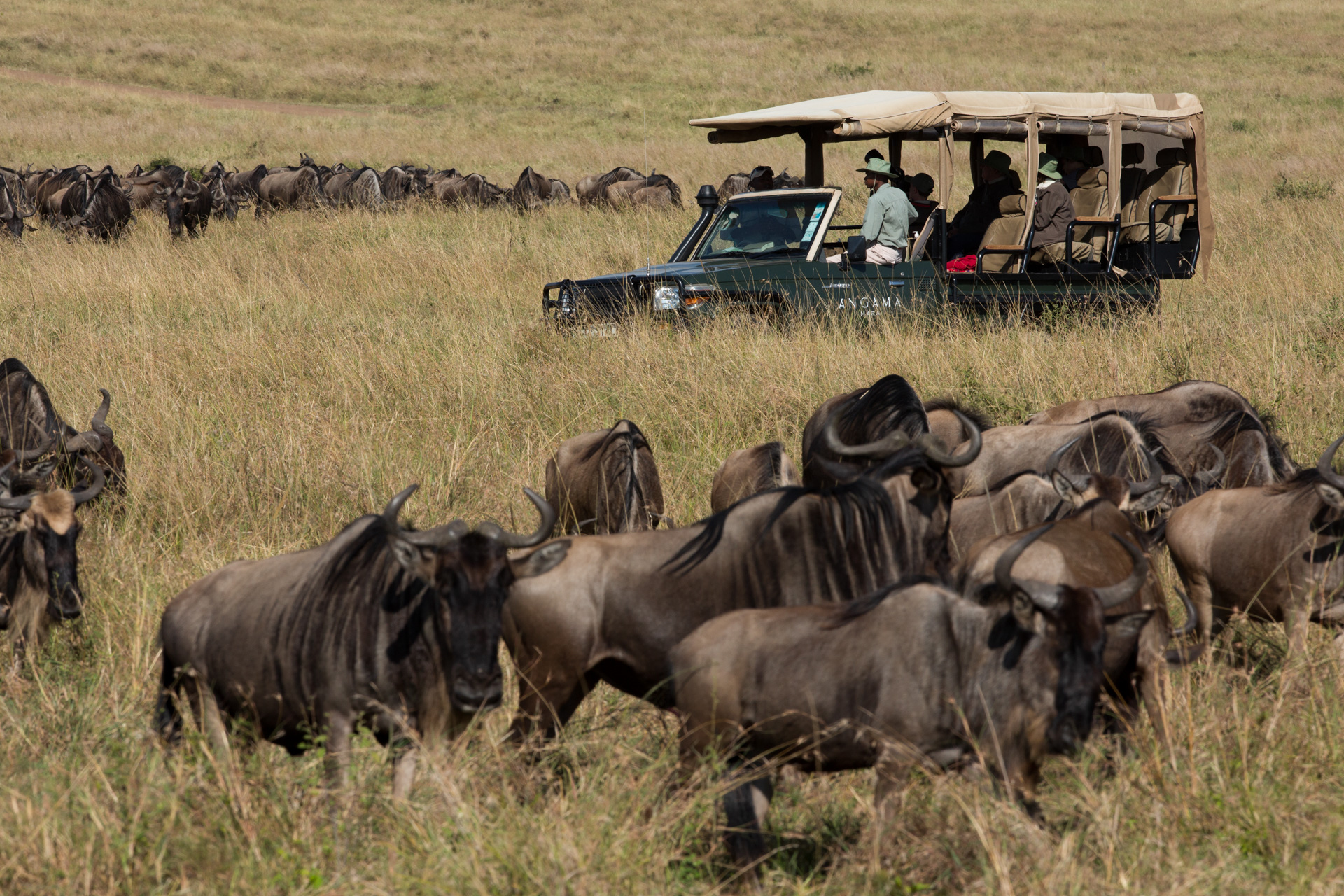 Wildebeest and car