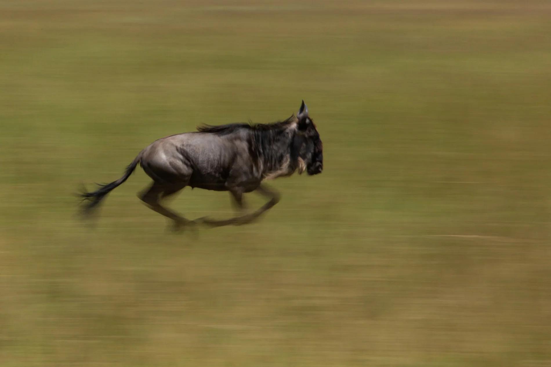 Wildebeest blur colour