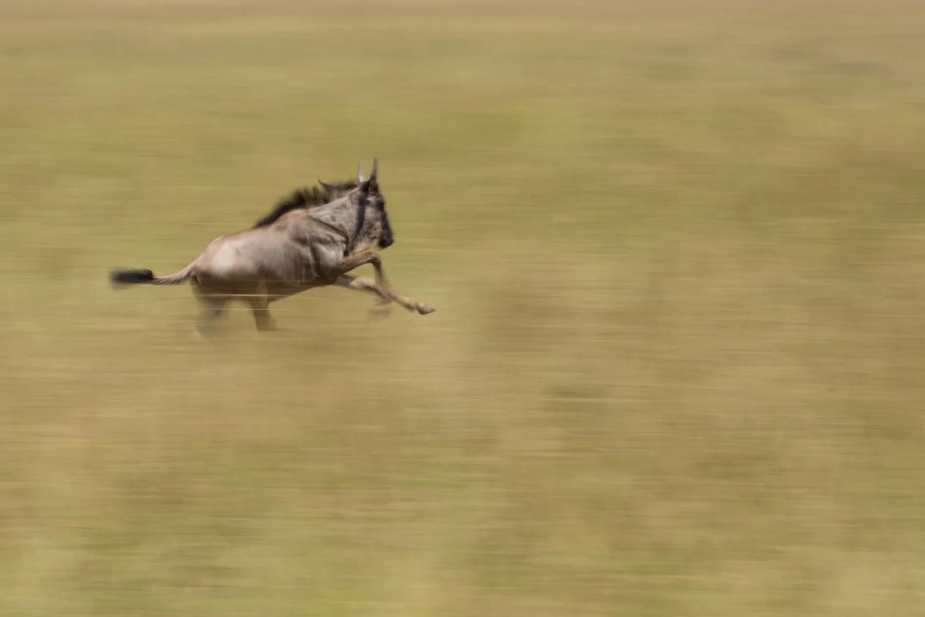 Baby wildebeest blur colour