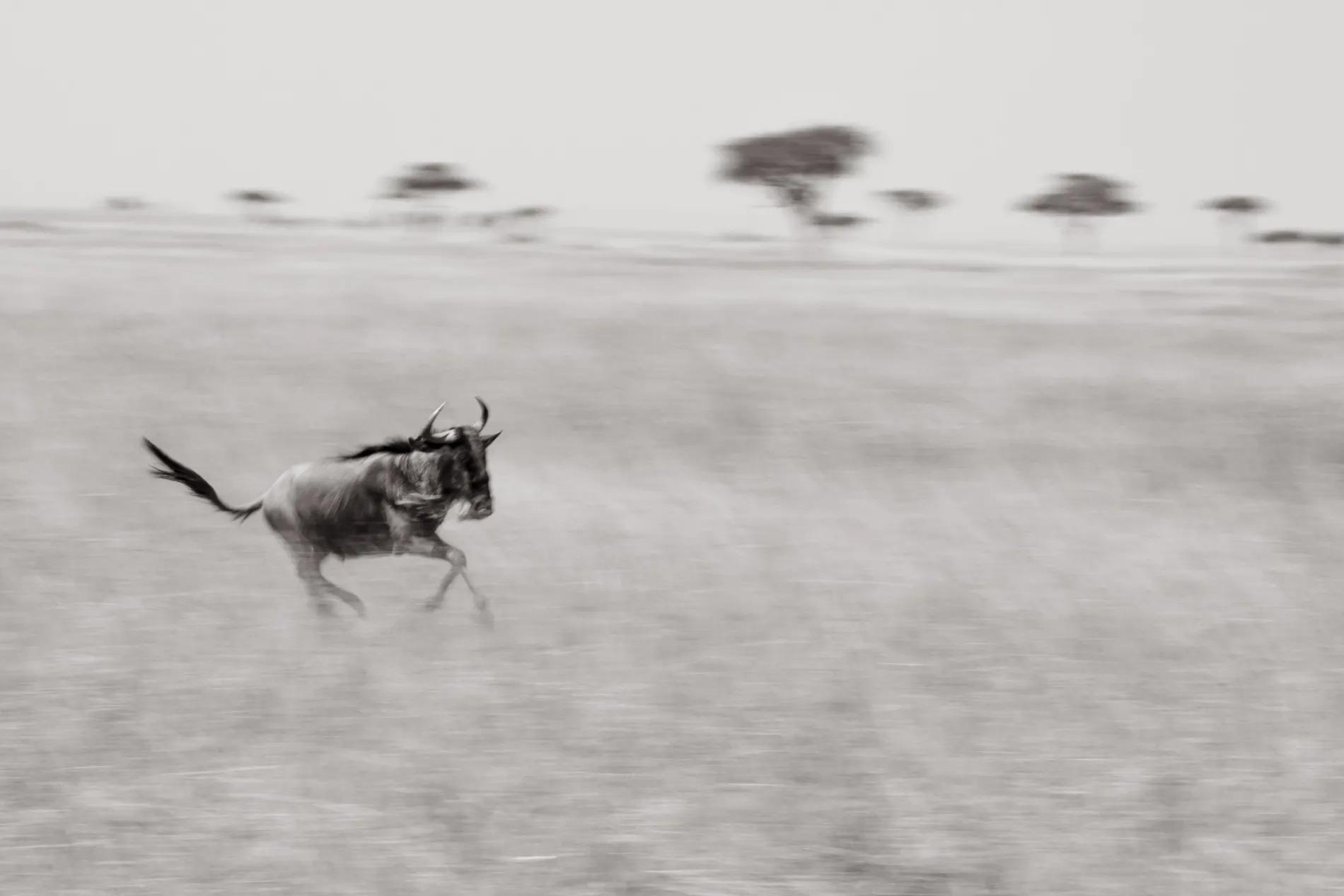 Lone wildebeest blur