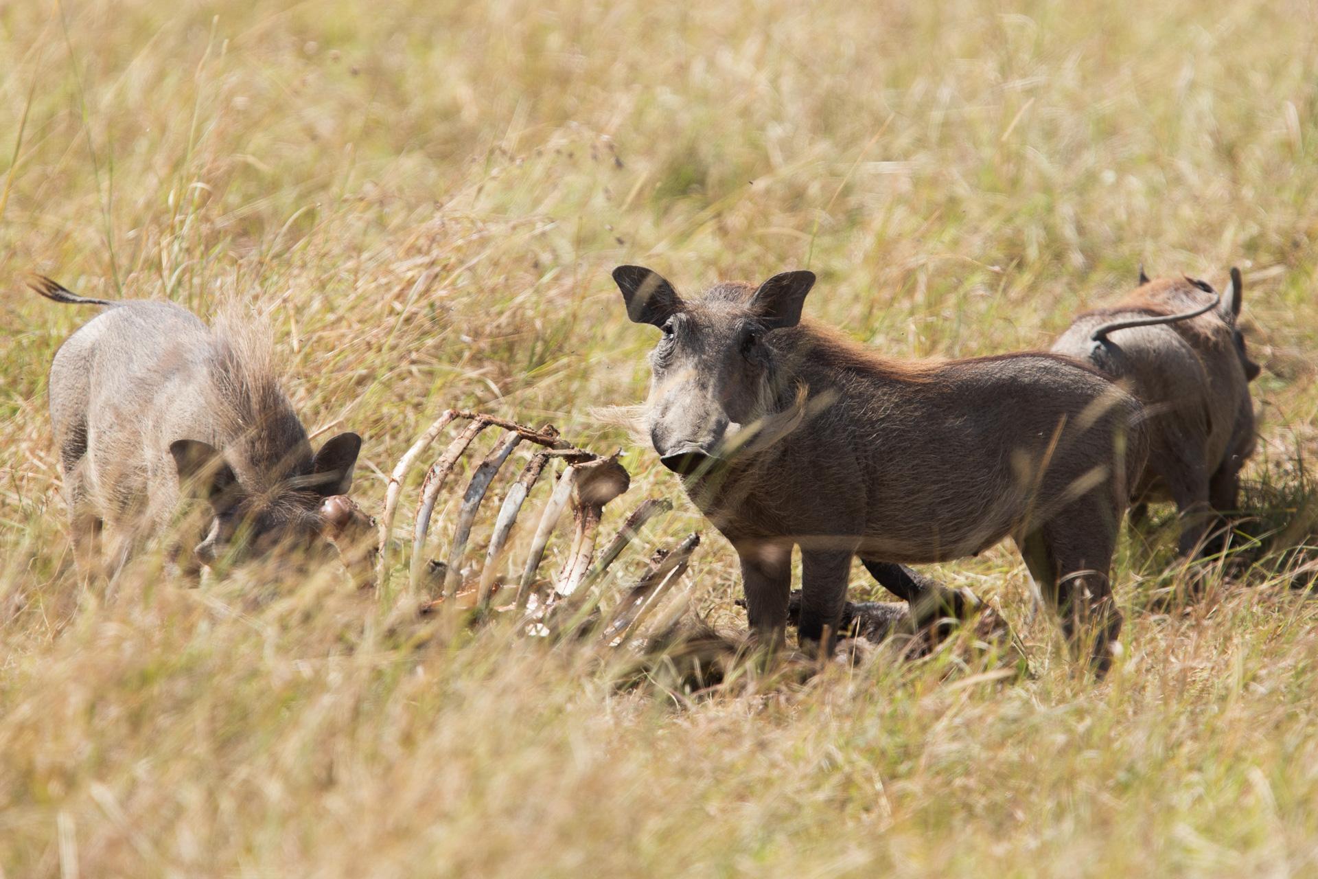Warthog kill