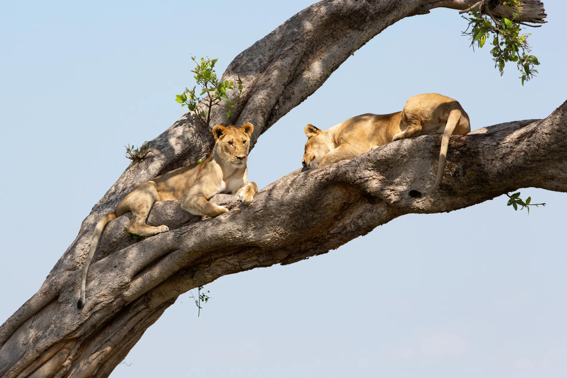lions in tree close up