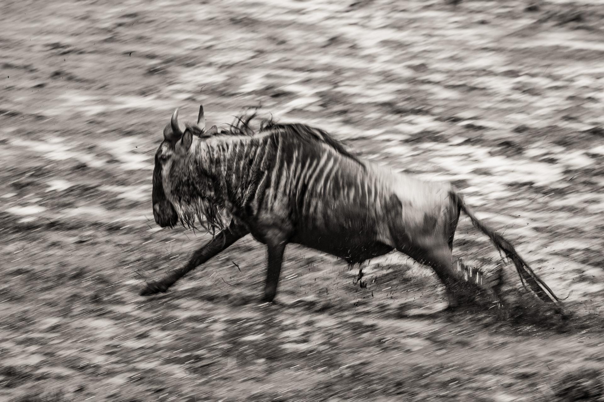 Wildebeest in mud