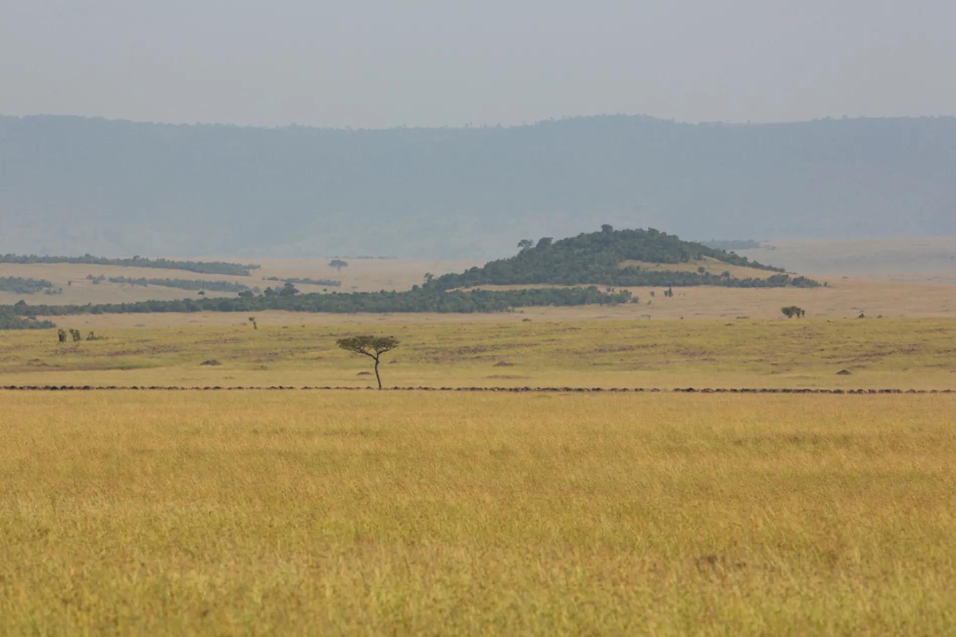 Wildebeest Line side on