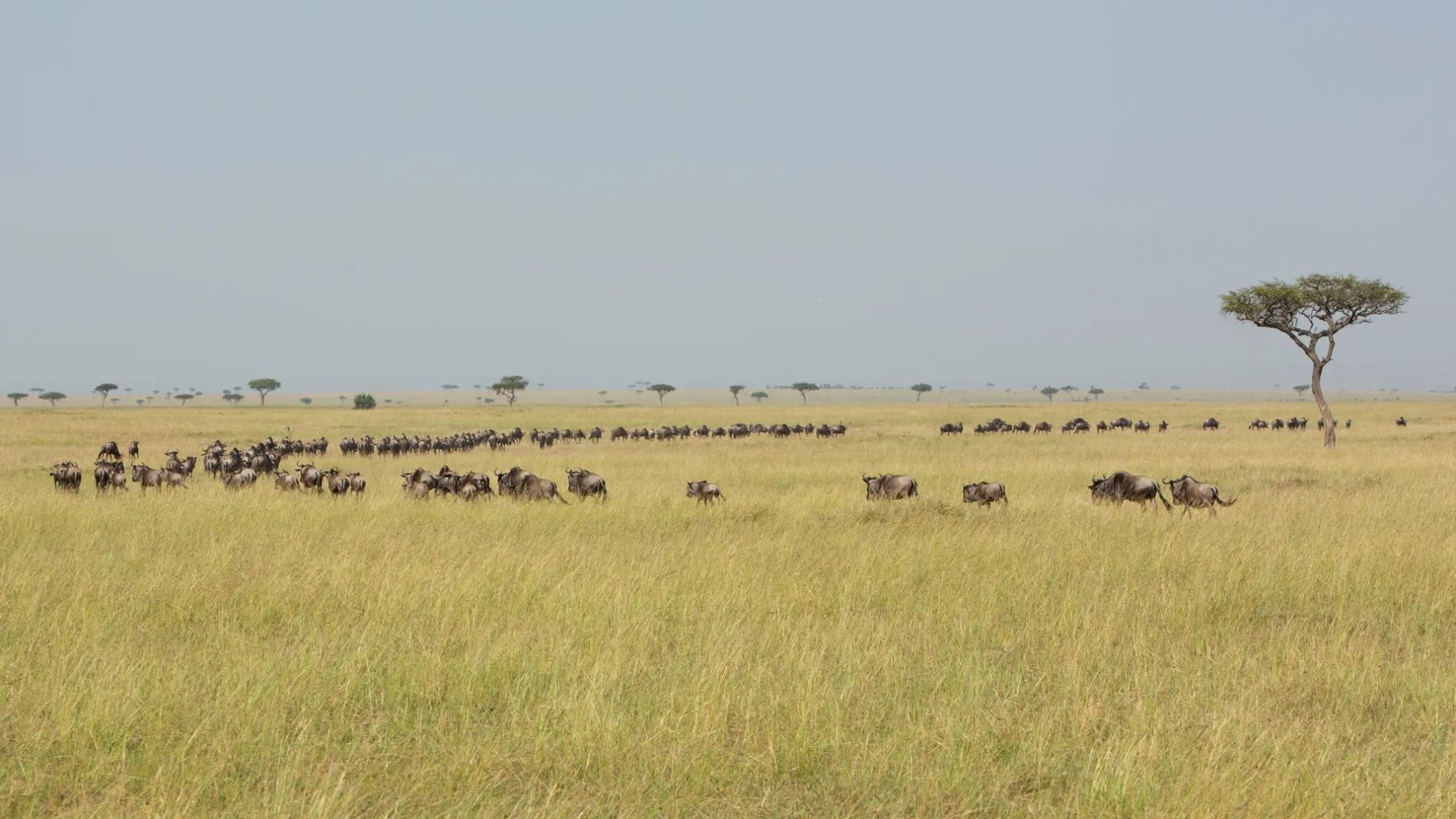Wildebeest queue