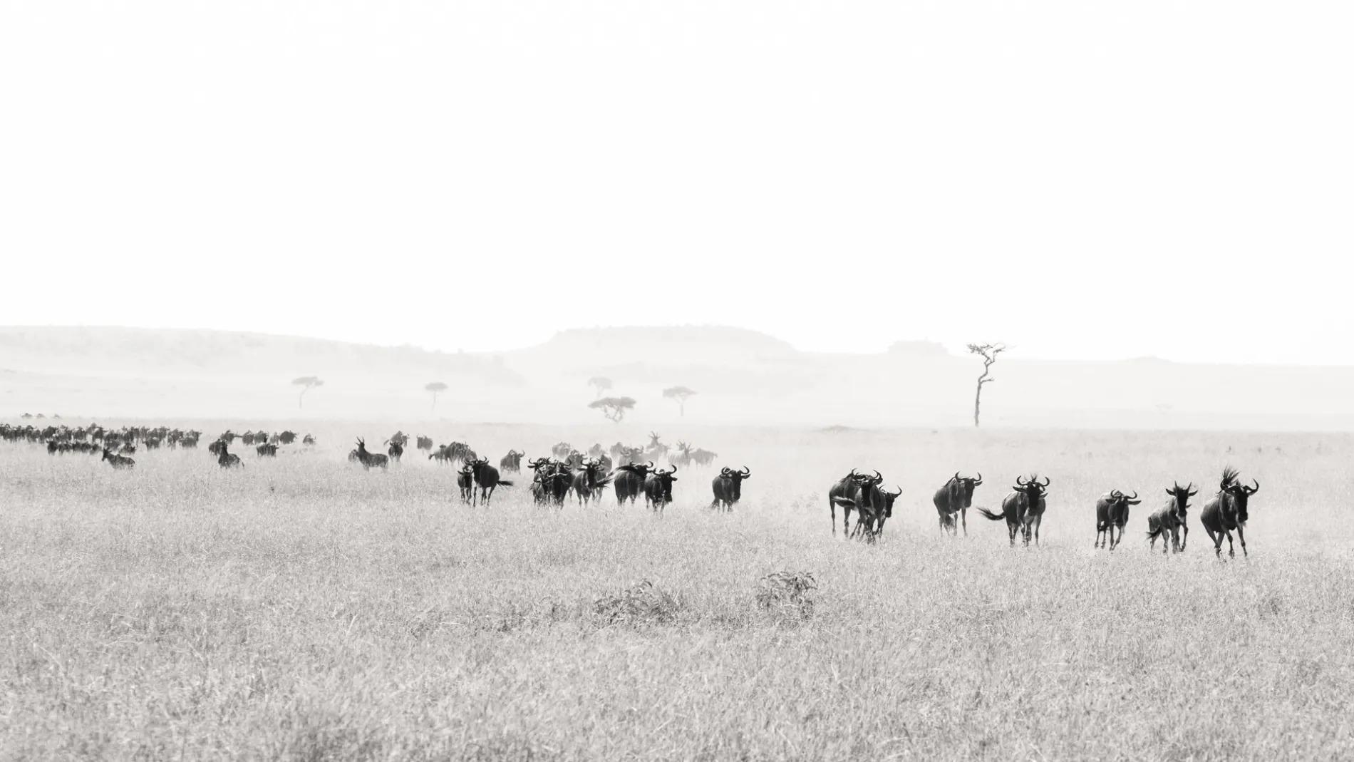 Wildebeest running BW