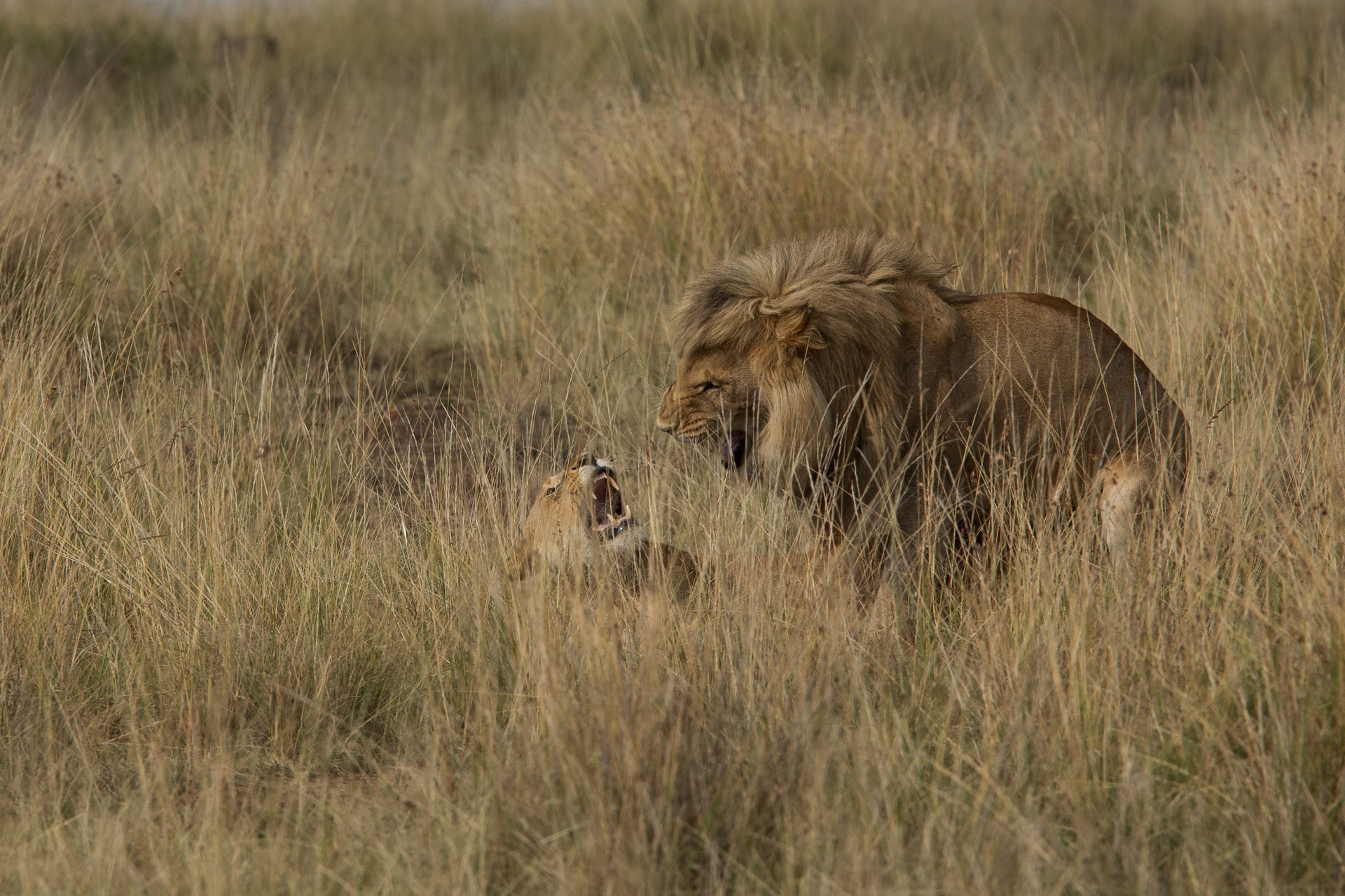 Lion Mating