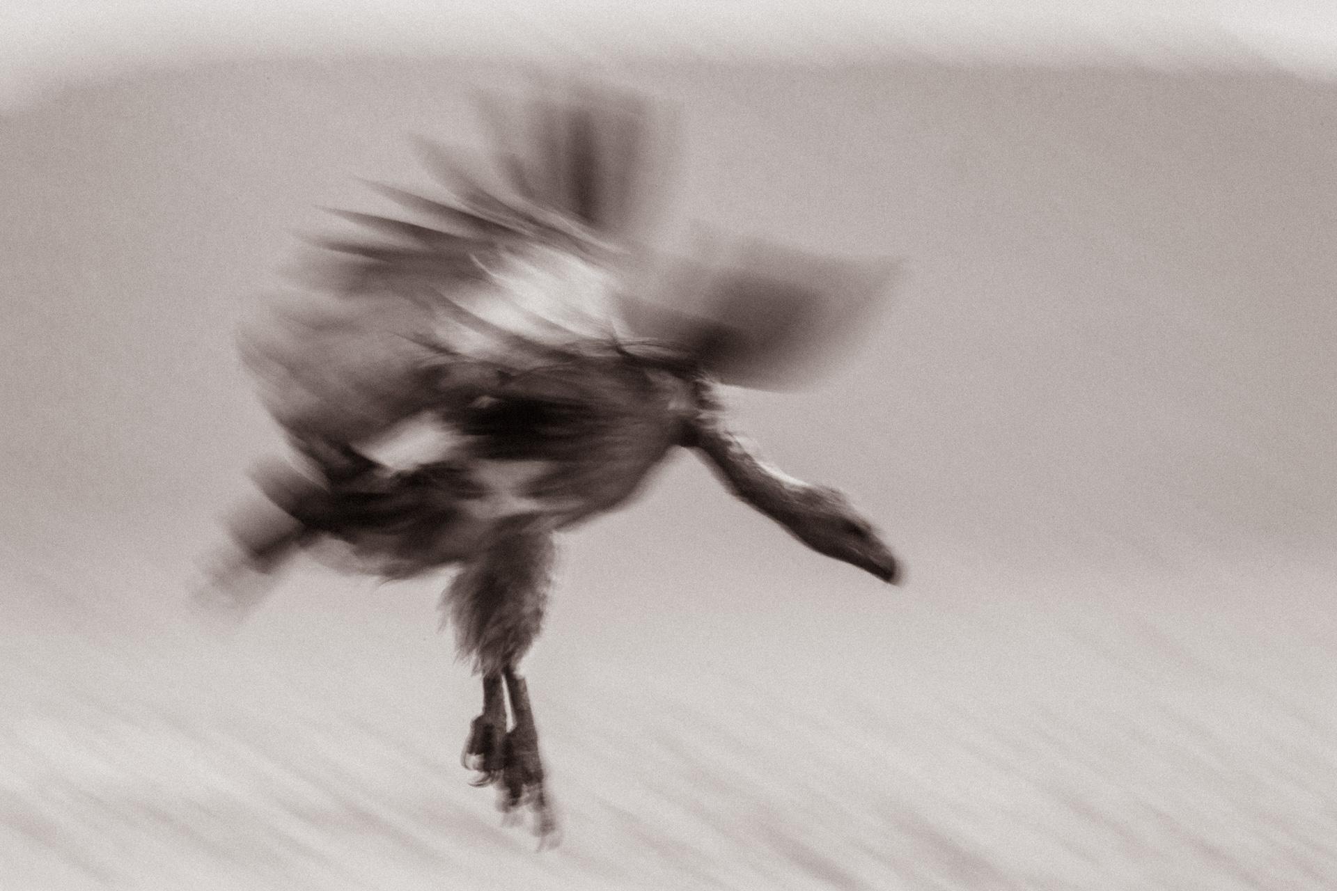 Vulture blurred flight