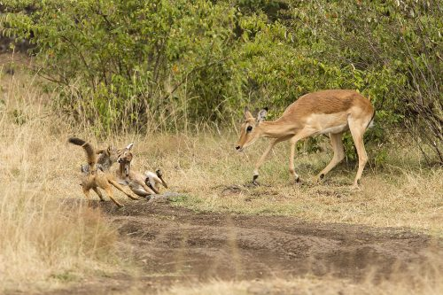 An impala tries to defend her baby from two hungry jackals