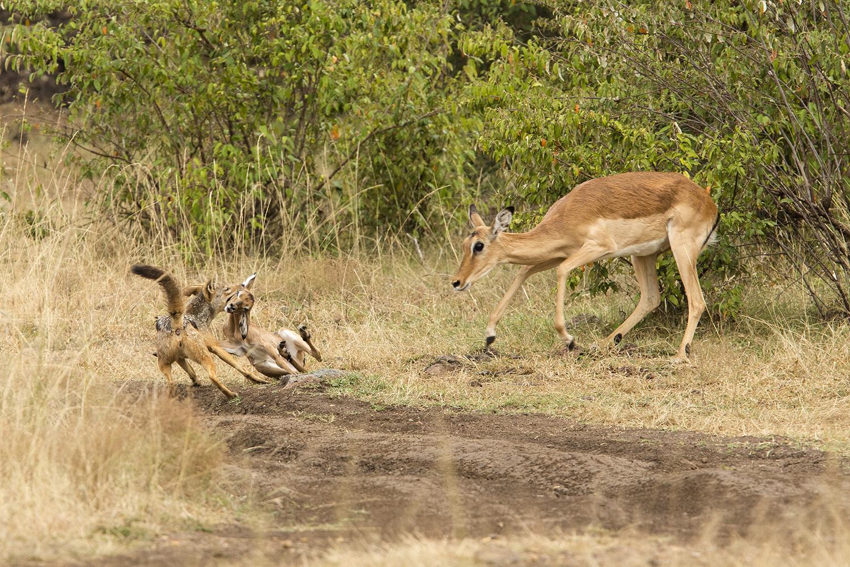impala jackal27
