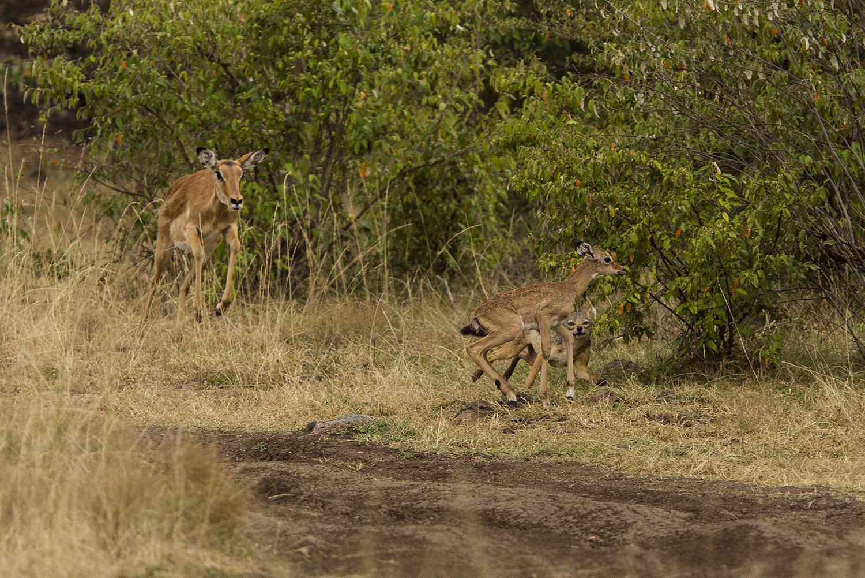Impala jackal 32