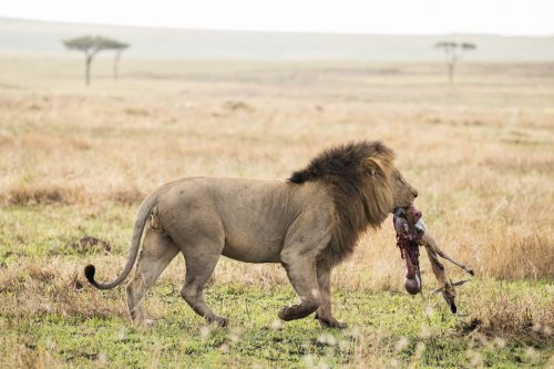 One of the Inselberg Males carries a gazelle carcass