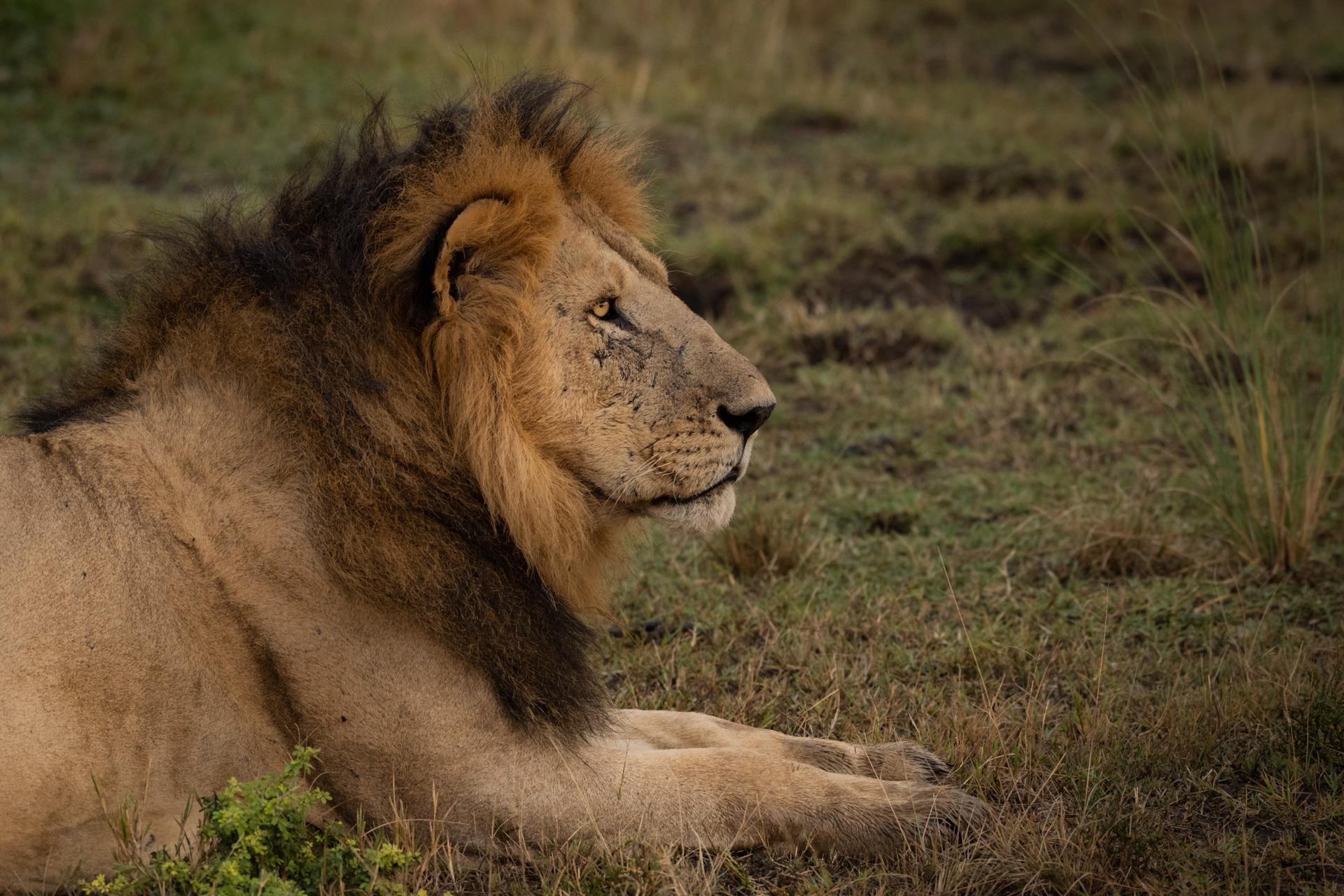 Solo Lion
