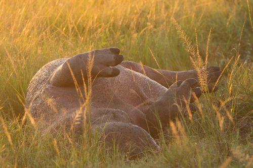A hippo carcass