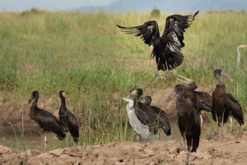 Open Billed Stork landing gracefull