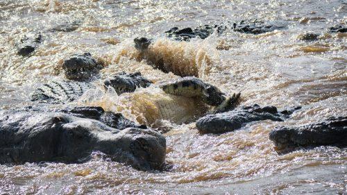 Crocodiles spinning a hippo carcass