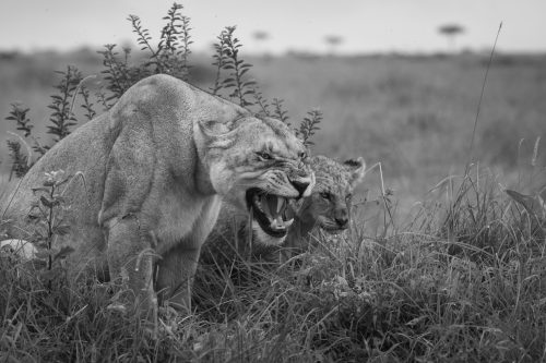 An Owino Pride female being an overly protective mother