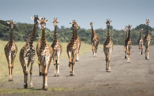 Giraffes at the airstrip