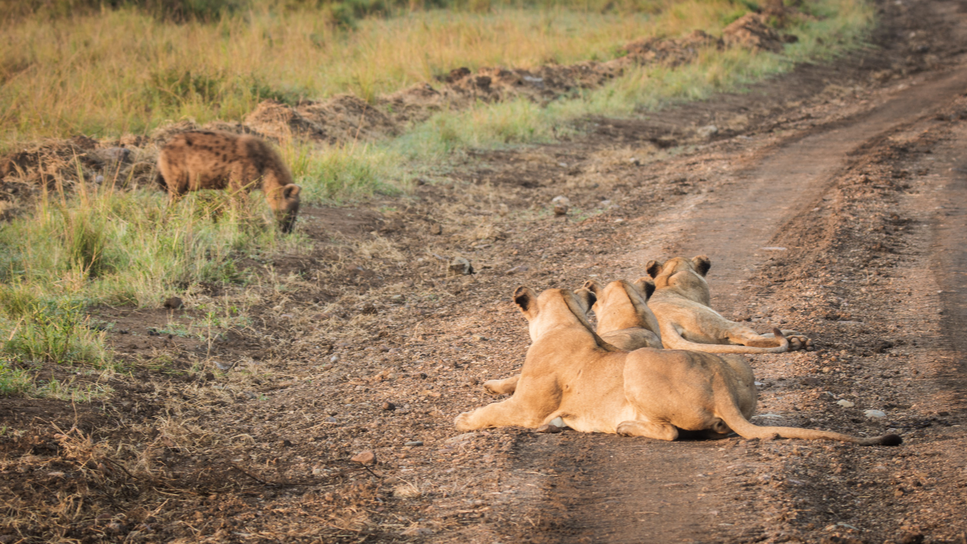 Hyena with lionesses