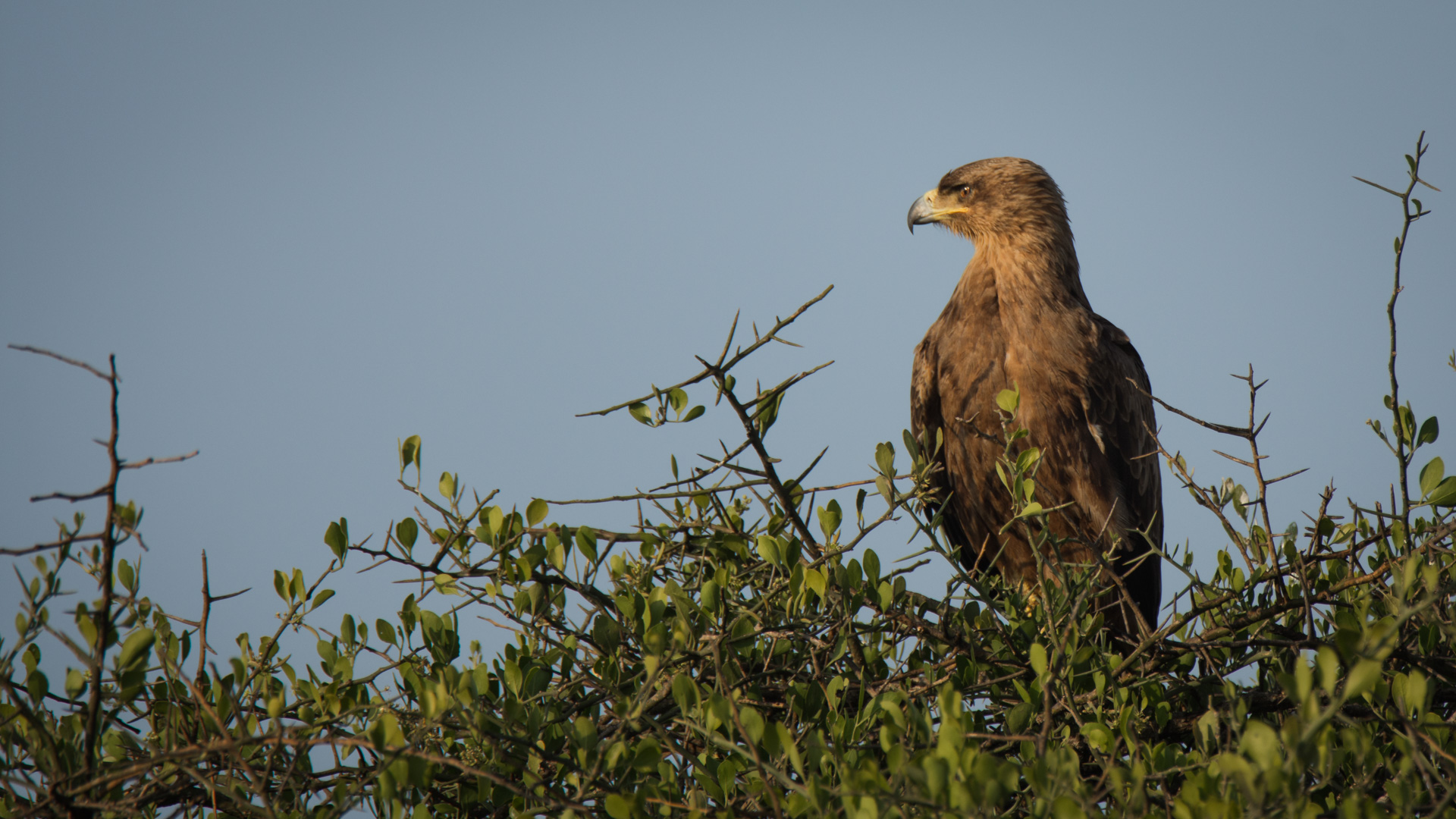 Steppe Eagle in tree