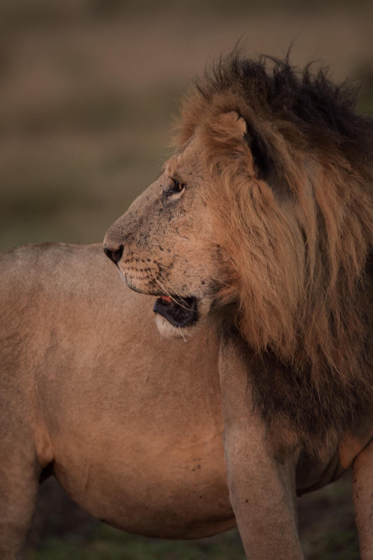 Standing lion looking left