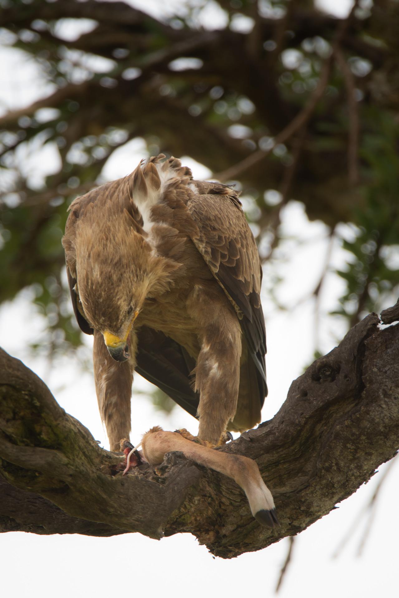 Tawny Eagle with Impala Leg