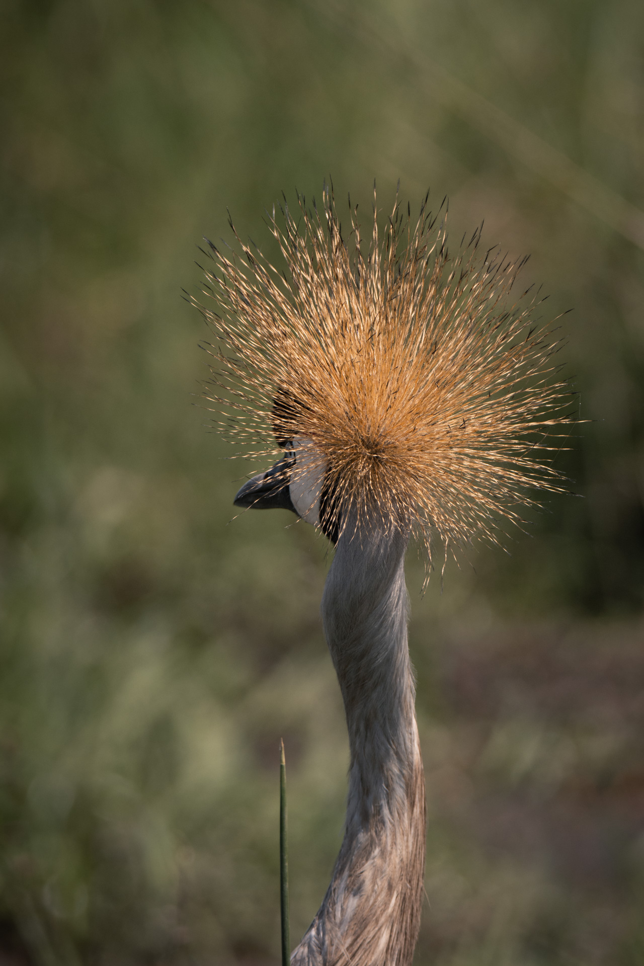 Crested crane crown