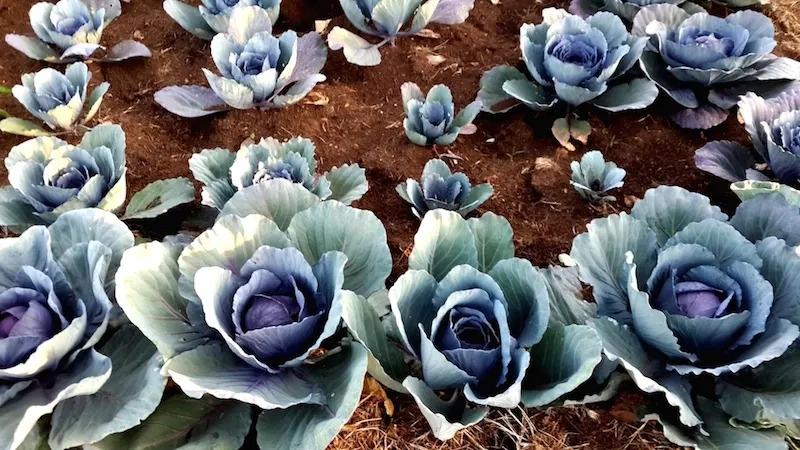 angama-mara-cabbages