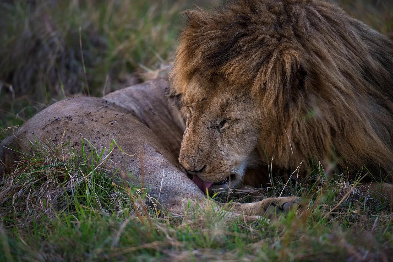 lion tending wounds