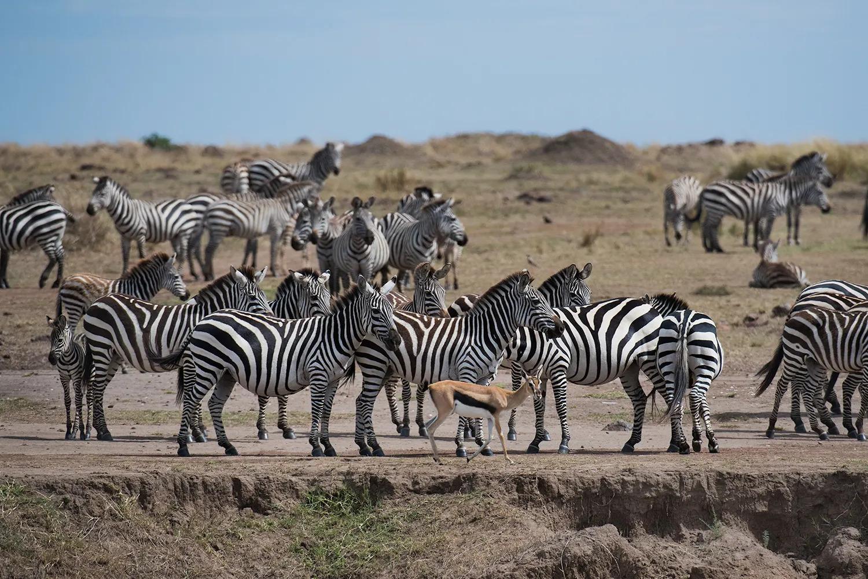 Zebra and tomie