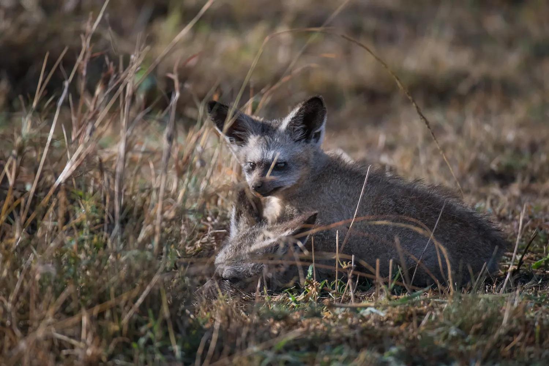 Bat eared fox close up