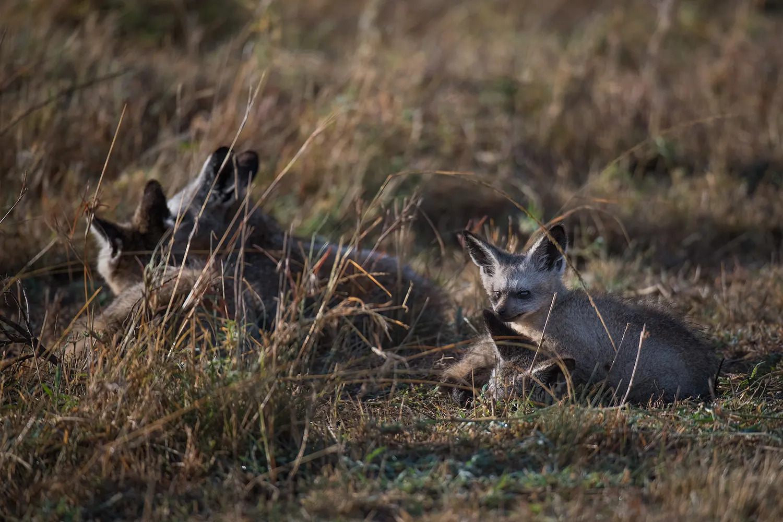 Bat eared foxes at den