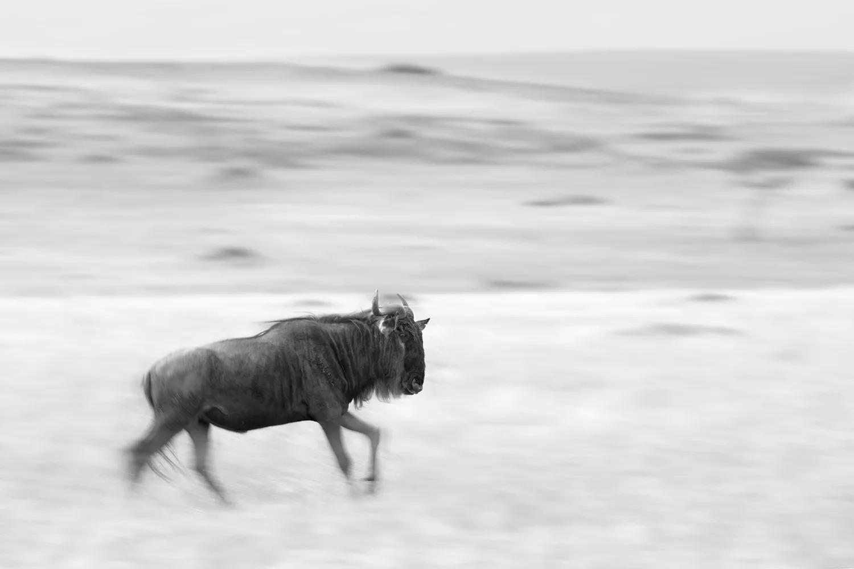 wildebeest black and white