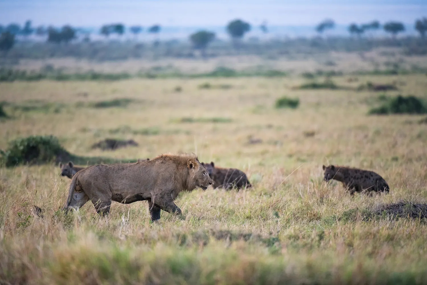 male lion and hyena