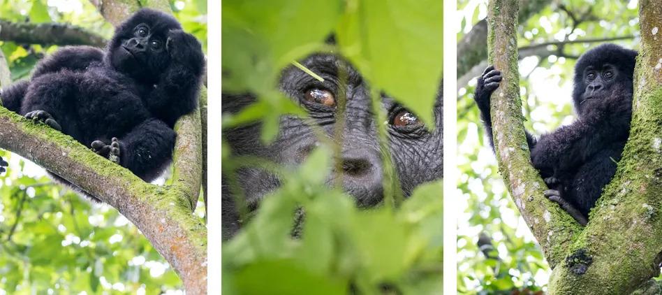 baby-drc-mountain-gorillas