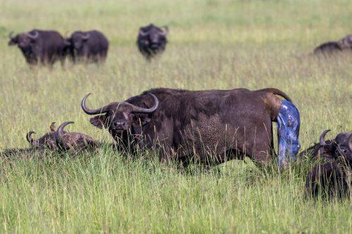 Buffalo Birth photographed by Tyler Davis