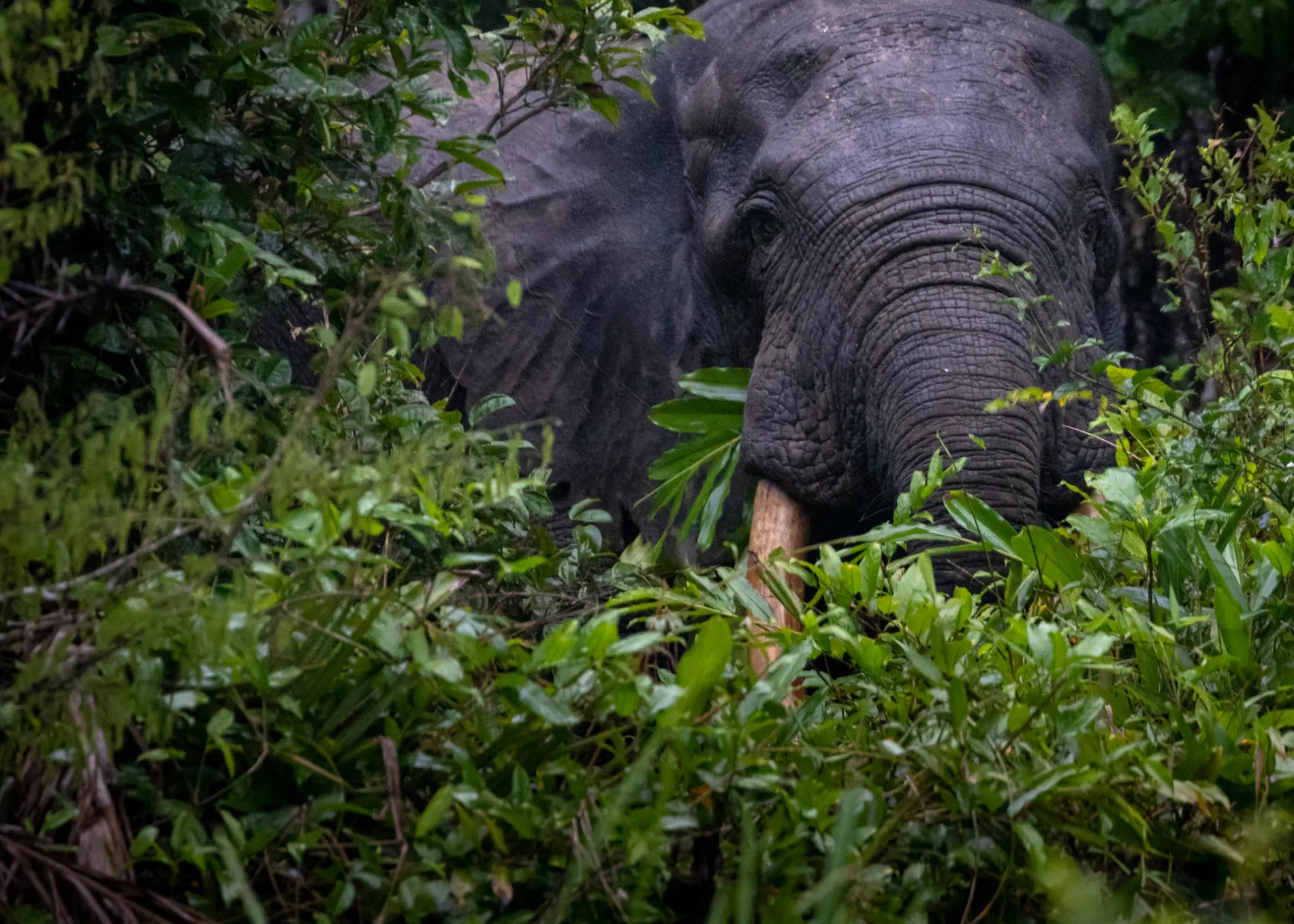 Forest Elephant Bull